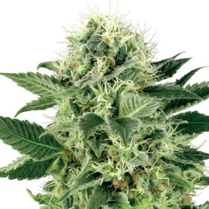Northern Lights Feminised Seeds