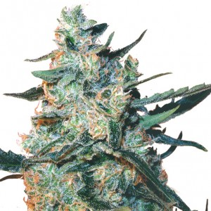 Feminized Tfd Mix Seeds