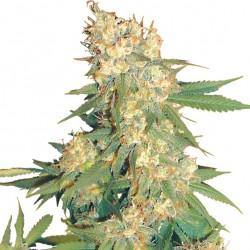 Aurora B. Seeds