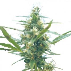 Fuma Con Dios Seeds