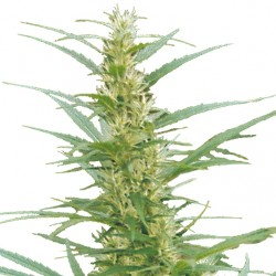Graine de Mixed Sativa Diva's