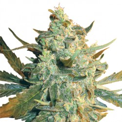 Feminized Power Skunk Seeds