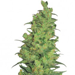 Feminized Temple Haze Seeds
