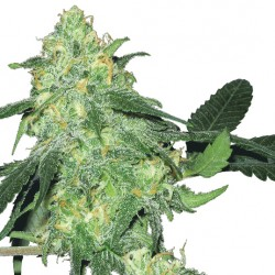 Feminized Skunk Classic Seeds
