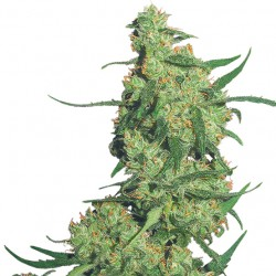 Feminized Nepal Kush Seeds