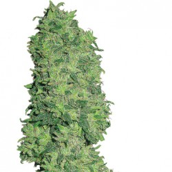 Feminized Dame Blanche Seeds