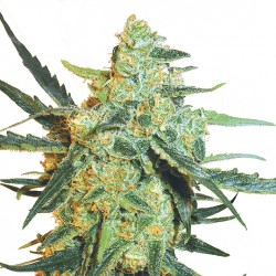 Feminized Blueberry Skunk Seeds