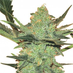 Feminized G Force Seeds