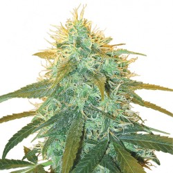 Feminized Skunk No.1 Seeds