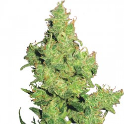Feminized Flying Dragon Seeds