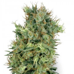 Graine de Cali Orange Bud