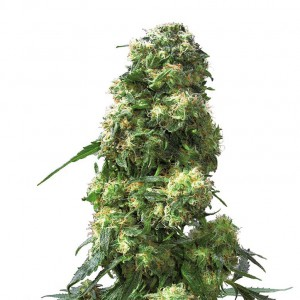 Early Skunk Feminized Seeds