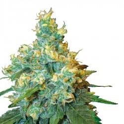 Jack Herer Seeds