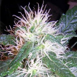 Misty Seeds