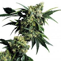 Mr. Nice G13 X Hash Plant Samen