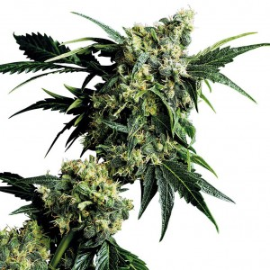 Mr. Nice G13 X Hash Plant Seeds