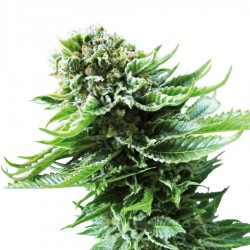 Northern Lights Automatic Seeds - Sensi Seeds