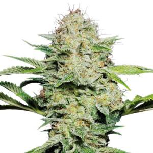 Sensi Skunk Automatic Seeds