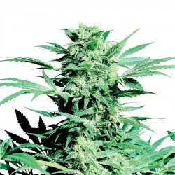 Shiva Skunk Seeds