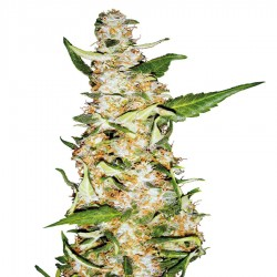 Graines de Skunk No 1 Automatic