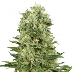 Skunk No 1 Automatic Seeds - White Label