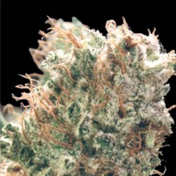 Skunk No 1 Feminized Seeds