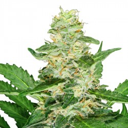 Super Skunk Automatic Seeds