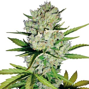 Super Skunk Automatic Seeds - White Label