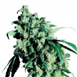 Graine de Super Skunk