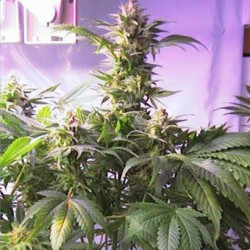 Top 44 Feminized Seeds