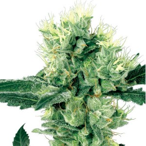 White Haze Seeds