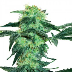 White Ice Feminized Seeds