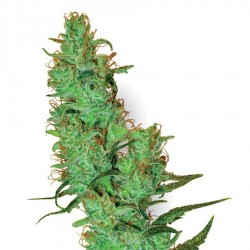 White Label Jack Herer Seeds