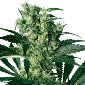 X Haze Feminized Seeds