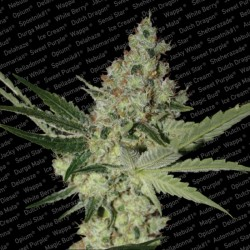 Acid - Feminized Seeds