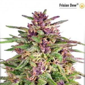 Frisian Dew - Feminized