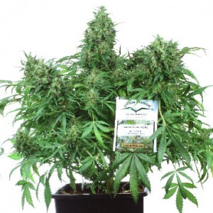 Think Different - Auto Feminized