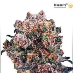 AutoBlueberry - Auto Féminisée