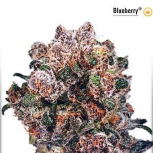AutoBlueberry - Auto Flowering