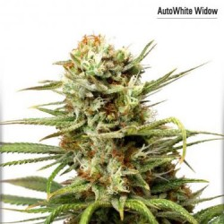 AutoWhite Widow - Auto Feminized