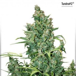 Tundra No.2 - Auto Feminized