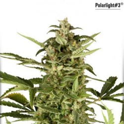 Polar Light No.3 - Auto Feminized