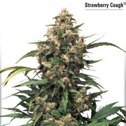 Strawberry Cough - Feminized