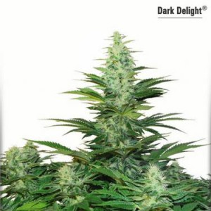 Dark Delight - Feminized