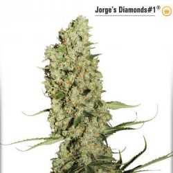 Jorge's Diamonds No.1 - Feminized