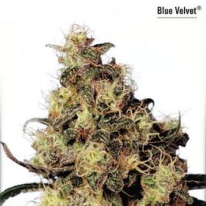 Blue Velvet - Feminized