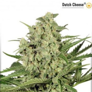 Dutch Cheese - Feminized