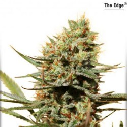 The Edge - Feminized