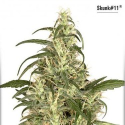 Skunk No.11 - Feminized