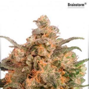 Brainstorm - Feminized